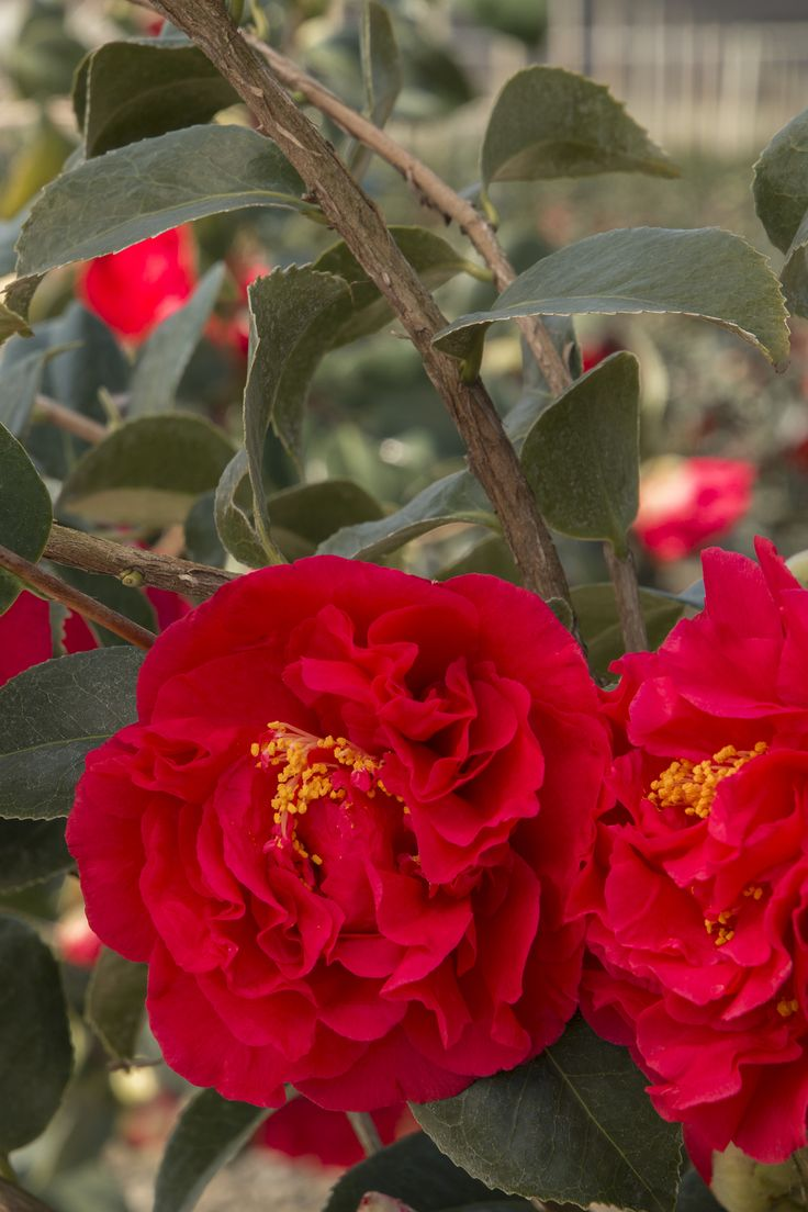 126 best shades of red images on pinterest plant catalogs