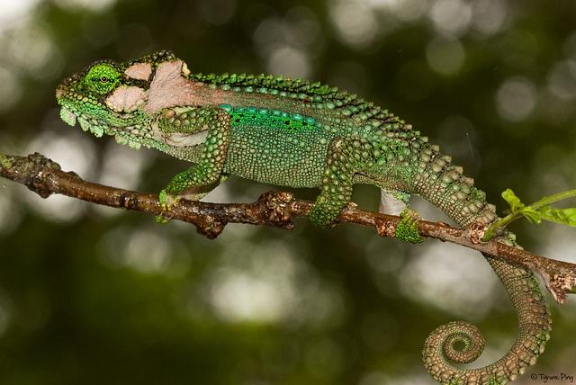 Knysna dwarf chameleon