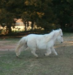 4H Pet Miniature Mares looking for good homes