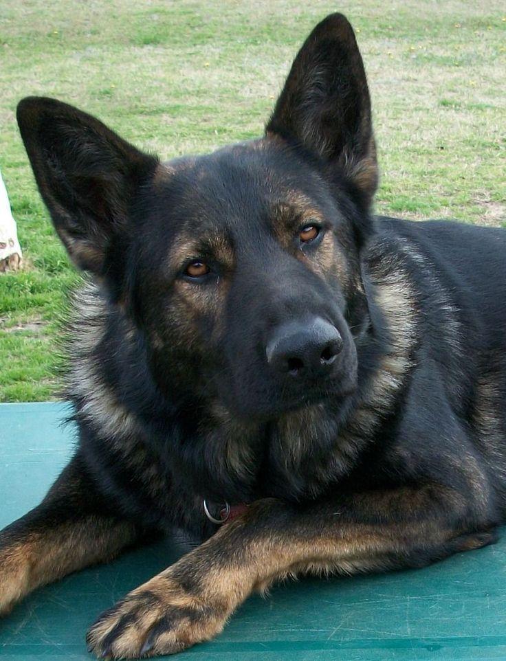 German Shepherd favorite breed of dog WANT one