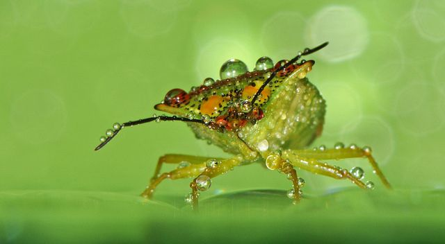 Hawthorn Shieldbug | Flickr : partage de photos ! by Robert Trevis-Smith