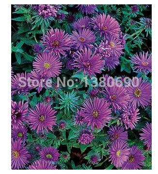 Фиолетовый купол астры. массы фиолетовый цветы с желтый центры. семена цветов для дома сад. бонсай растения для Decoration-50seeds