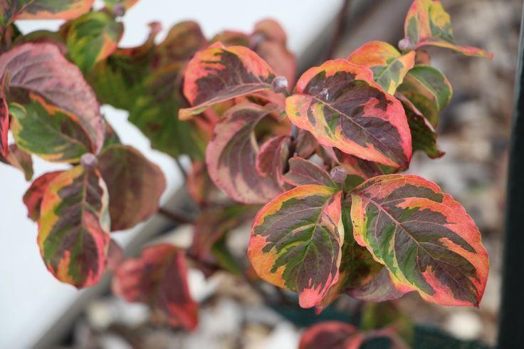 """Nakonec i jeden čistě okrasný podzimní keř máme. Takhle duhově se na podzim rozzáří dřín květnatý """"Rainbow""""."""