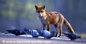 Red Fox Diet | The Fox Project