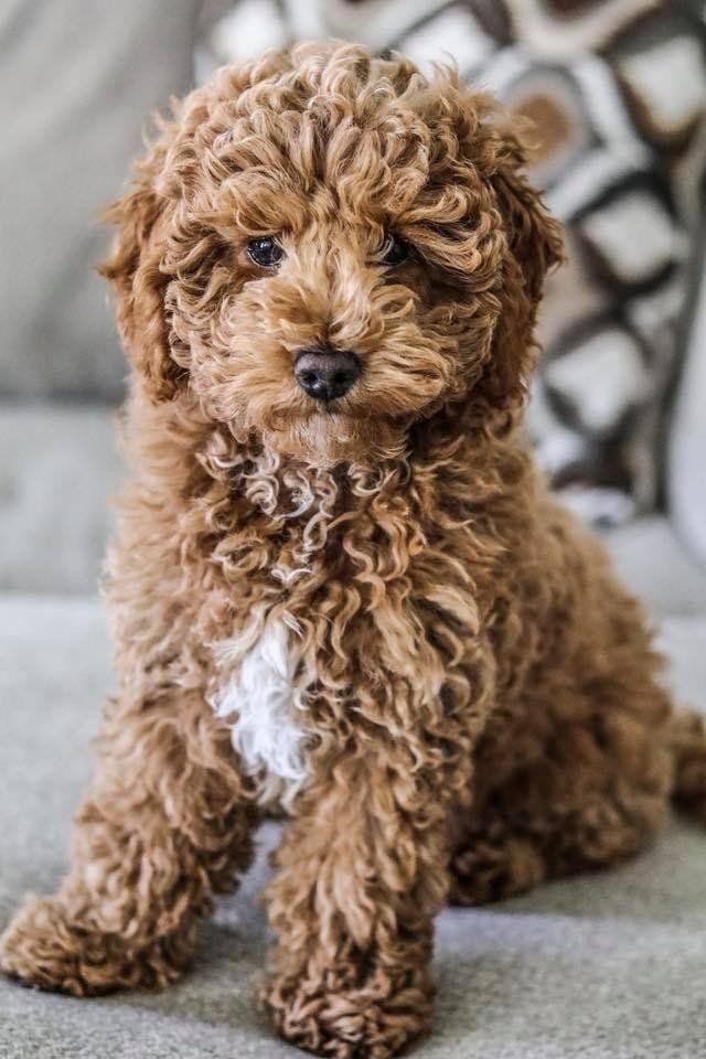 Petit Jean Puppies Goldendoodles Cavapoos Cavapoochons In 2020