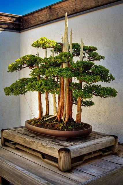 Bonsai - some of these plants are hundreds of years old, lovingly tended by multiple generations of bonsai gardeners.