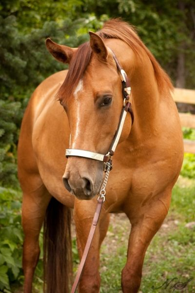 """Jacky Rose"" aka Jacky is a pretty registered 2008 AQHA (American Quarter Horse) Red Dun mare who is very well built and has all ground work done."