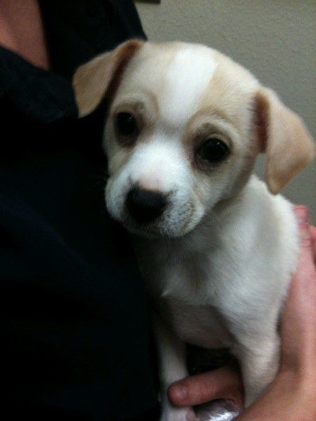 Puppy chihuahua jack Russell mix | Pups | Pinterest