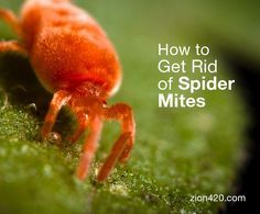 Easy and useful techniques to get rid of spider mites. Practice these steps to keep in check spider mite control. Easier to prevent than kill spider mites.