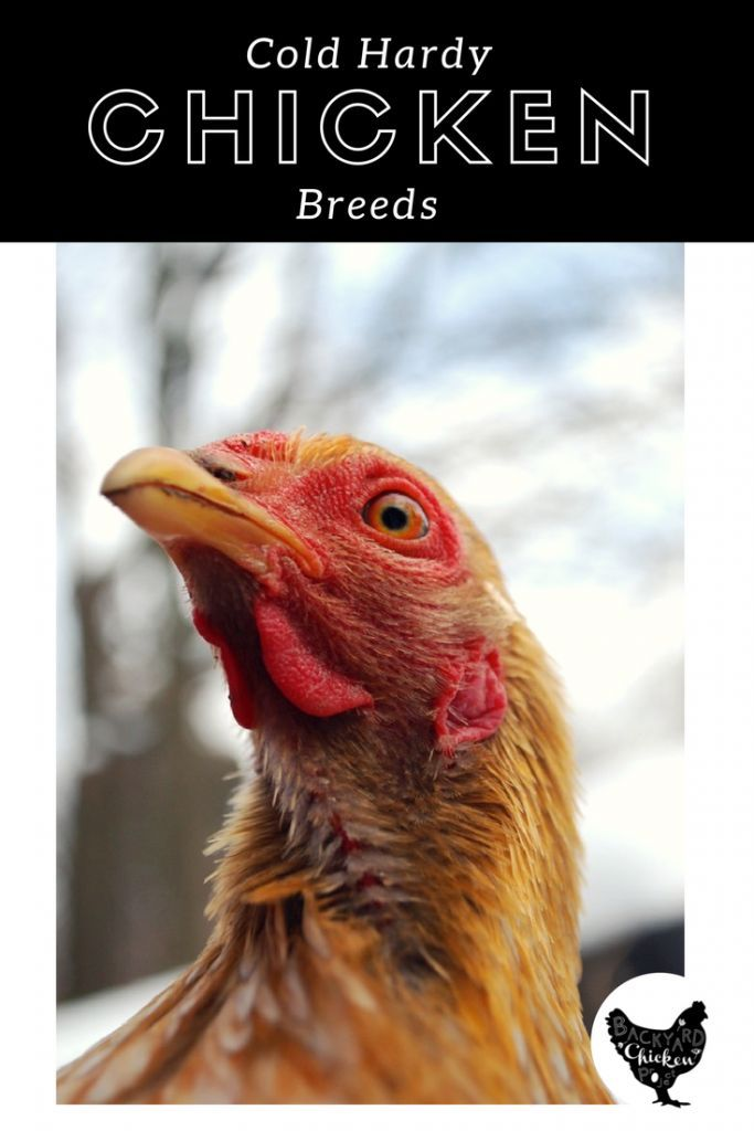 If you live in a cold climate, you're going to need some cold hardy chicken breeds to add to your flock! Find out our favorites here!