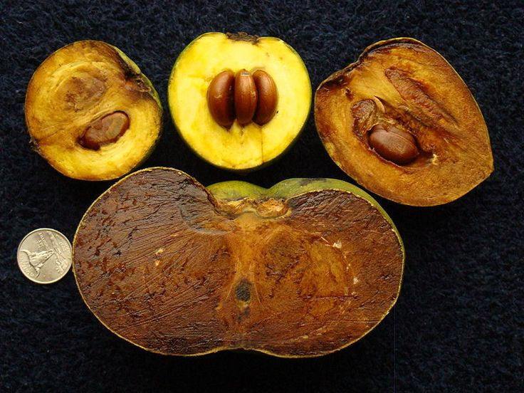Diospyros nigra, the black sapote, is a species of persimmon. Common names include chocolate pudding fruit, chocolate persimmon and (in Spanish) zapote prieto.    The tropical fruit tree is native to eastern Mexico, the Caribbean, Central America, and into Colombia.