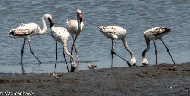 Flamingoes At sewri, mumbai