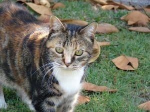 Fakta om katterasen Huskatt http://www.kattergisbort.no/2012/09/25/fakta-om-katterasen-huskatt/ #huskatt #pus #blogg #kattergisbort.no #katt #katter #rasekatter #fakta