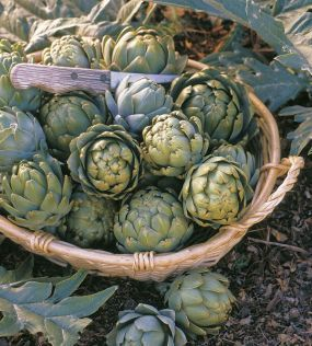 Artichoke starting options    There are three ways to begin your artichoke garden: with seed, with shoots taken from existing plants, or with dormant roots.