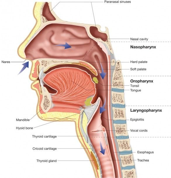 Respiratory System Nasal Cavity Upper Respiratory Tract Diagram