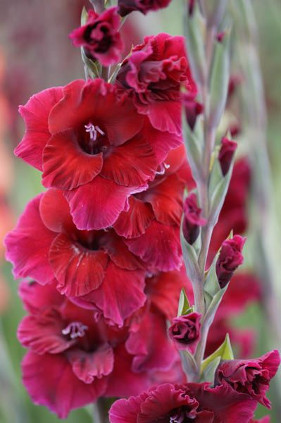 "Gladiolus, my birth flower (August). Named for the shape of their leaves, gladioli – from the Latin word ""gladius,"" meaning sword – have a history than spans from Africa to the Mediterranean. Symbolizing strength and moral integrity, gladioli also represent infatuation, with a bouquet conveying to a recipient that they pierce the giver's heart with passion. Striking and colorful with towering stems, this August birth flower and 40th wedding anniversary flower evoke the drama of Roman…"