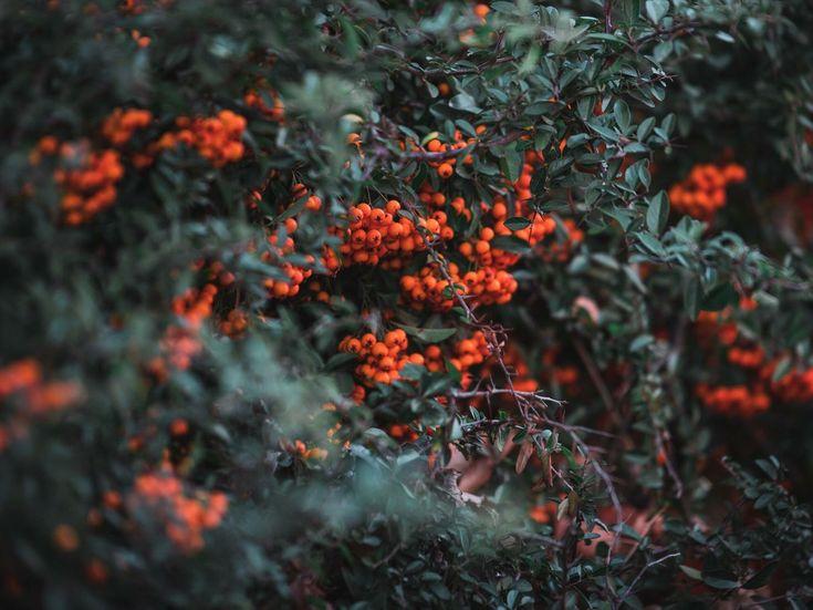 #winter #berries #plant #orange #mood #vsco