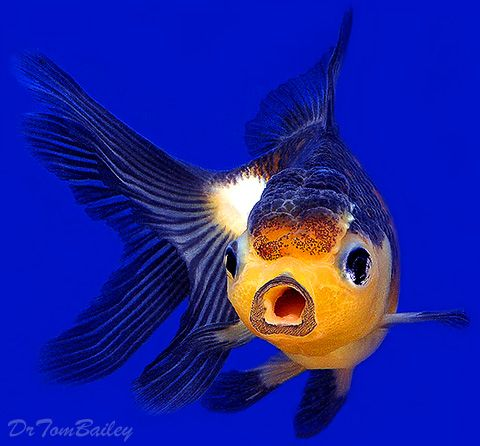 Best 25 aquarium fish for sale ideas on pinterest for Freshwater fish for sale