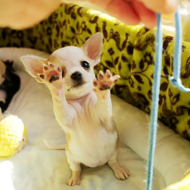 Cute chihuahua  Keep your kitty Delighted & Healthy Win a $1000 Gift Card - 100% free Pet Food for 1 year!   Claim Your Gift Card NOW!  http://DogsDogsBaby.us/GiftCard