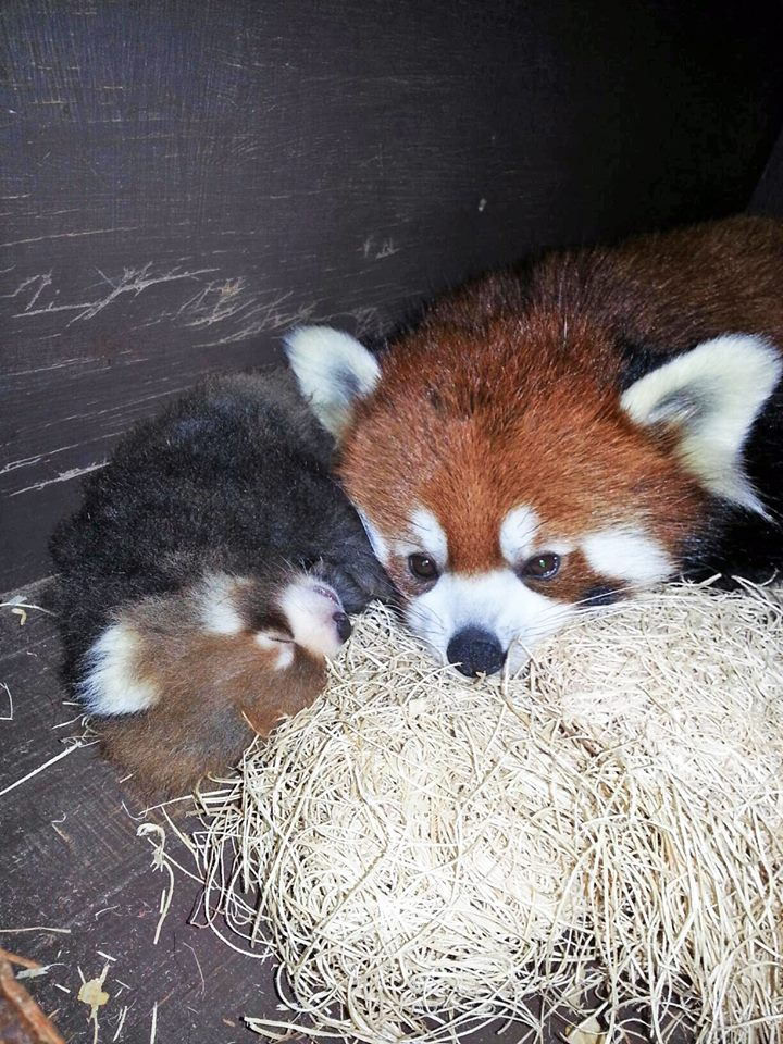 30 best Red Panda Cubs! images on Pinterest | Cubs, Red ...