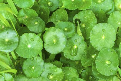 What Is Gotu Kola: Information About Gotu Kola Plants -  Gotu kola is often known as Asiatic pennywort or spadeleaf, an appropriate nickname for plants with attractive leaves that look like a deck of cards. Looking for more gotu kola plant information? This article can help.