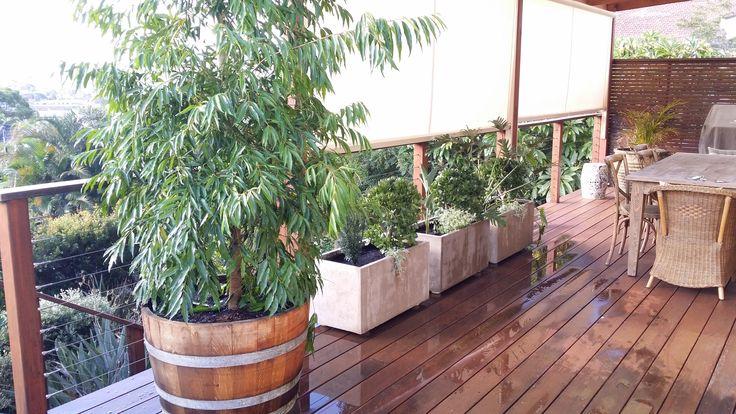 Low maintenance Elliot troughs, agave, strelizia, crassula, dicondra. Waterhousia in wine barrel