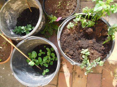 """#Kartoffeln im Eimer: """"Die Lichtverhältnisse sind meiner Erfahrung nach nicht so bedeutsam wie bei Tomaten, Chilis oder Bohnen. Auch unter schwierigen Bedingungen kann man gute Erfolge erzielen. Ein wenig Wasser muss vorhanden sein, das war's allerdings schon an Voraussetzungen. Als erstes sollte man die Kartoffeln im März oder April vorkeimen lassen. Das ist nicht zwingend notwendig, sorgt aber für einen kleinen Vorsprung, wenn die Kartoffeln im April gesetzt werden."""""""