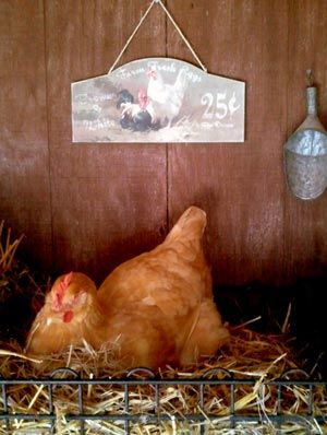 Good to know!  Fresh or dried herbs in your nesting boxes not only work as insecticides, but also have anti-bacterial properties, and can act as natural wormers, anti-parasitics, insecticides, rodent control, stress relievers and laying stimulants.