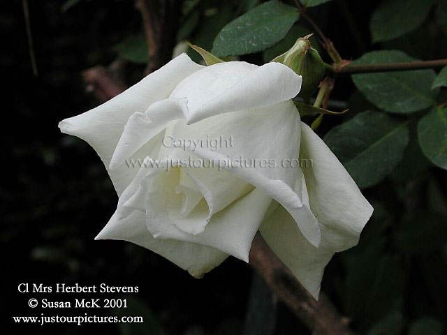 Just our Pictures of Roses Pictures ~ Mrs Herbert Stevens (CL) white rose picture