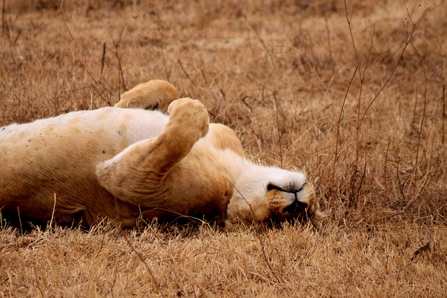 Lioness, Ngorogoro Crater, via Flickr.