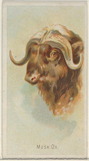 Musk Ox, from the Wild Animals of the World series (N25) for Allen & Ginter Cigarettes
