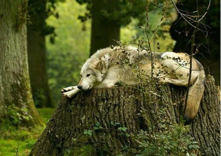 Loup en paix <3 <3 ****