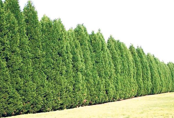 1000 ideas about privacy trees on pinterest fast growing thuja green giant and arborvitae tree. Black Bedroom Furniture Sets. Home Design Ideas