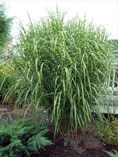 Very Tall OrnamentalGrasses - Journal - Garden Design, Perennial Flower Gardening, Gardening Tips, Gardening Advice, Gardening Book Reviews