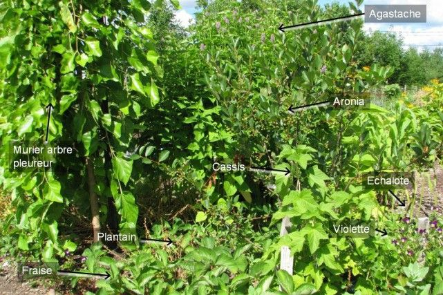 Uneforêt nourricière dans sa cour: article de LaPresse; suggestions de Wen Rolland. Guilde de plantes: autrement dit des regroupements végétaux qui reproduisent les processus naturels essentiels.