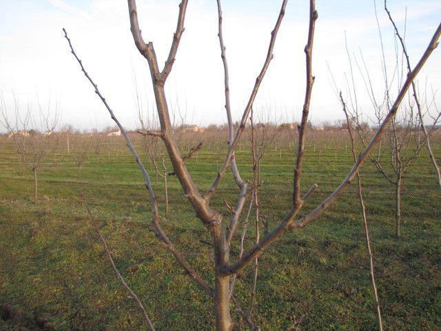A rövid és hosszú metszéssel befolyásolni tudjuk a termés mennyiségét. A képen még az is látható, hogy a bal oldali metszés külső rügyre, míg a jobb oldali belső rügyre történt.