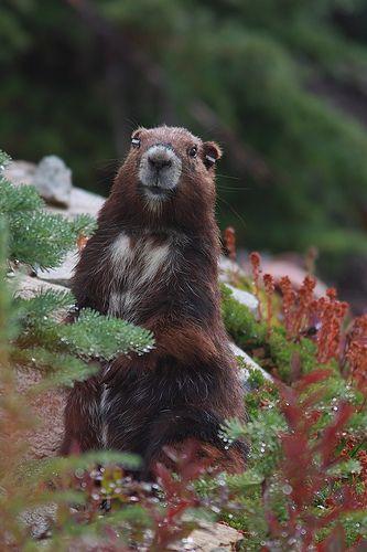 marmota vancouverensis