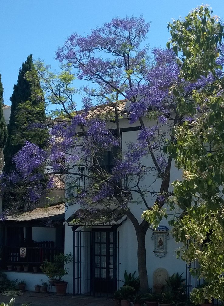 #Jacaranda in blossom at our #entrance