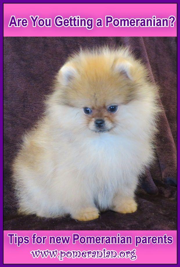 Are You Getting A Pomeranian Pomeranian Puppy Puppies Pomeranian