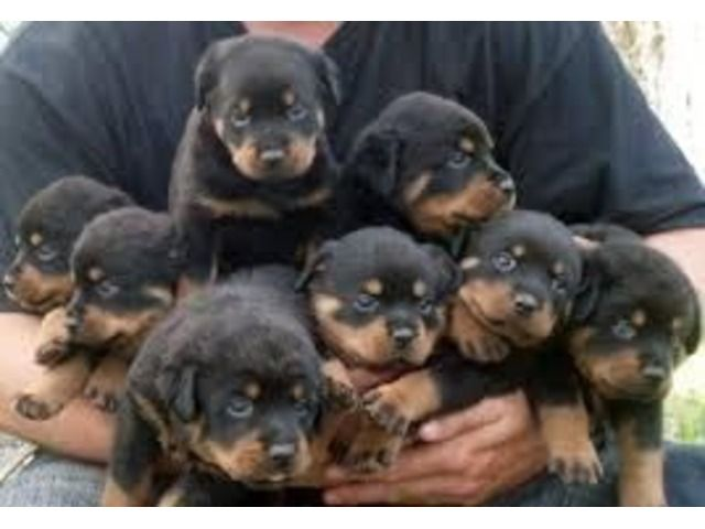 Top Quality Rottweiler Puppies 100 Purebred Rottweiler Dog