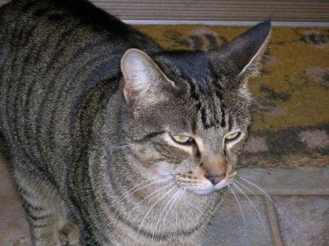 A macskák agresszivitása összefügg a színükkel - A cirmos cicák a barátságosabbak közé tartoznak :) - mindig is ők voltak a kedvenceim :)