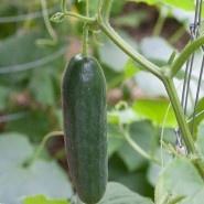 Growing CucumbersGardens Ideas, Bonnie Plants, Green Thumb, Cucumber Hanging, Vegetables Gardens, Trellis Small, Hanging Vines, Growing Cucumber, Gardens Growing