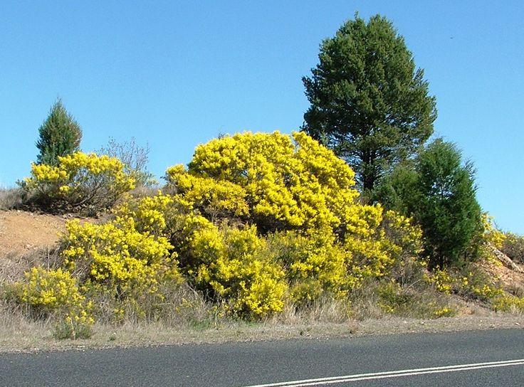 19 best australian native plants for frosty gardens images on pinterest