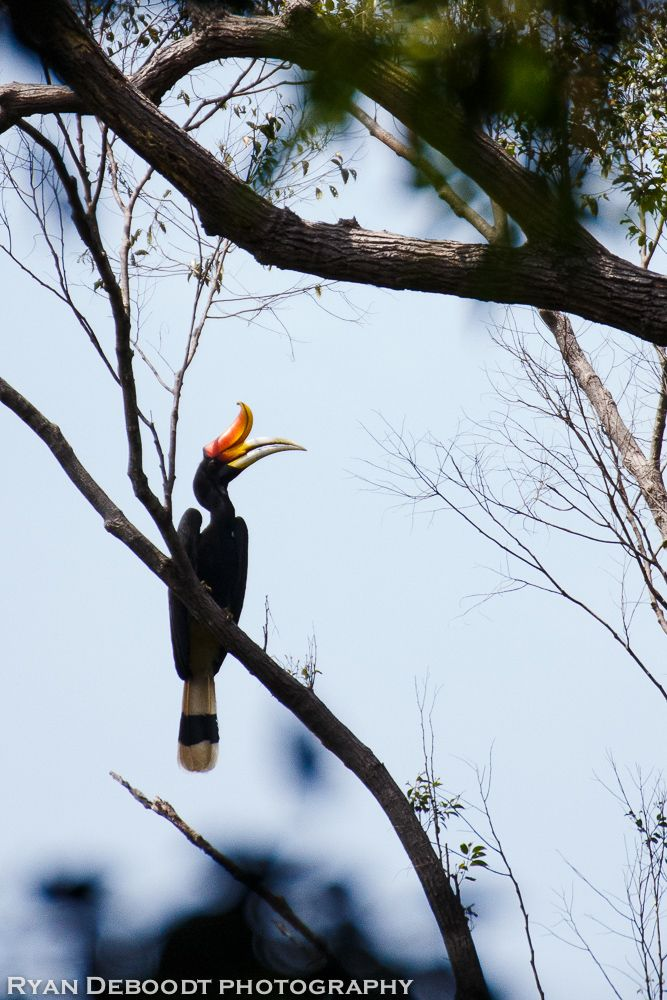 A hornbill bird in Gunung Leuser National Park, Indonesia, first week of February