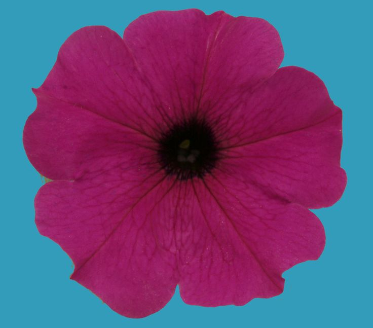 Rare blue petunias get their color from a malfunctioning molecular pump, according to research published Jan. 2 in the journal Cell Reports. Rare Blue Flowers Reveal How Petals Get Their Color