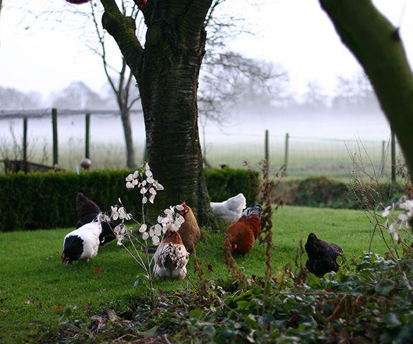 Mijn scharrelende kippen. Op de achtergrond, boven de weilanden zie je opkomende mist.
