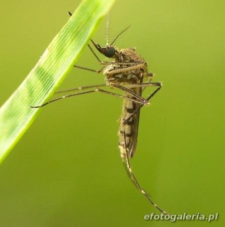 Aedes vexans