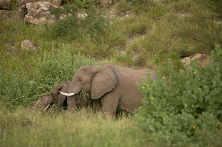 Elephants are Natures true path makers. Here are some at work at the Mapungubwe National Park.