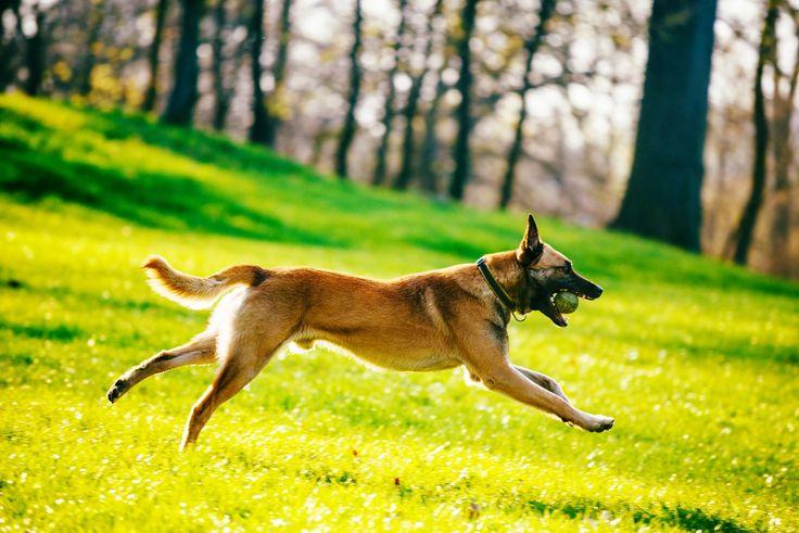Tibetan terrier puppies for sale ireland