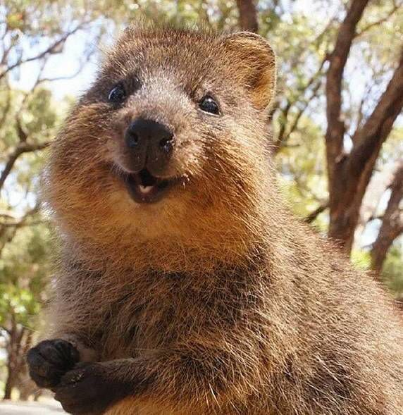 "QUOKKA.....found in Australia....the size of a house cat....a length of 16 to 19 inches and a weight of 3.3 to 10 pounds....very friendly, curious, fearless, and playful....often called the ""happiest animal in the world""....name comes from the Aboriginal language of the local Nyungar people...Nyungars called the creatures ""gwaga""....the early European settlers interpreted this as ""quokka"""